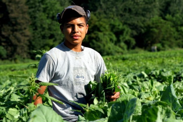 Considered essential to the U.S. economy, as Donald Trump himself now acknowledges, Mexico's seasonal farmworkers are exposed to the coronavirus pandemic as they work in U.S. fields, which exacerbates violations of their rights, such as wage theft, fraud, and other abuses. CREDIT: Courtesy of MHP Salud